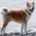 """The Wall Street Journal"": Япония подарила Путину собаку породы акита-ину"