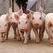 Прилавки заполнят китайской свининой