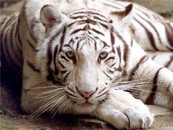На улицах мексиканского города ловили бенгальского тигра