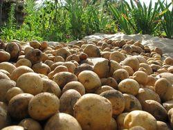95% всего картофеля в республике производят подсобные хозяйства