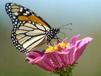 В Японии появились бабочки-мутанты