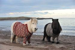 Шотландия привлекает туристов разодетыми пони