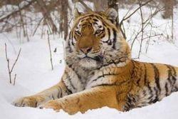 """На программу сохранения """"больших кошек"""" Россия получит 12,7 млн долларов"""