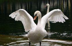 Правительство Нью-Йорка истребит более двух тысяч лебедей