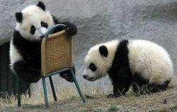 Пекин в качестве жеста доброй воли отправит в Южную Корею двух панд