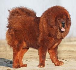 Тибетский мастиф - это мощная и тяжелая собака крепкого сложения с сильной мускулатурой, обильной шерстью