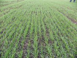 гибель озимой пшеницы
